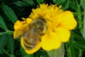 Bee and Marigold