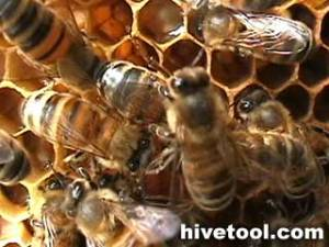 Laying worker bee