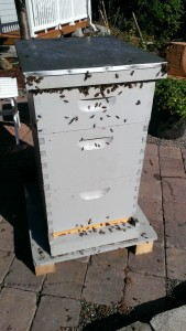 Bees accumulating at the top of the hive near the lid.