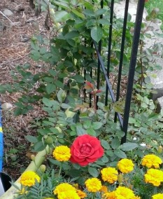 First year climbing rose